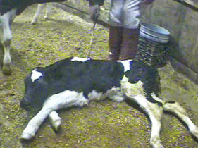 Calf_veal_investigation_1_hsus_281x210