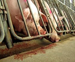 Pigs_gestation_crate_270x224