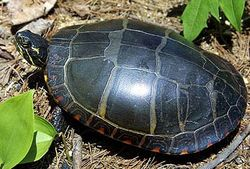 Painted-Turtle-1_Young